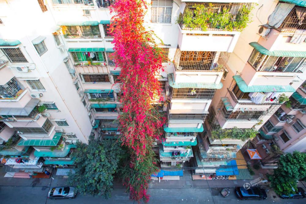 """广州一棵簕杜鹃攀到9楼高 花开景象似""""瀑布""""2017.2.14 - fpdlgswmx - fpdlgswmx的博客"""